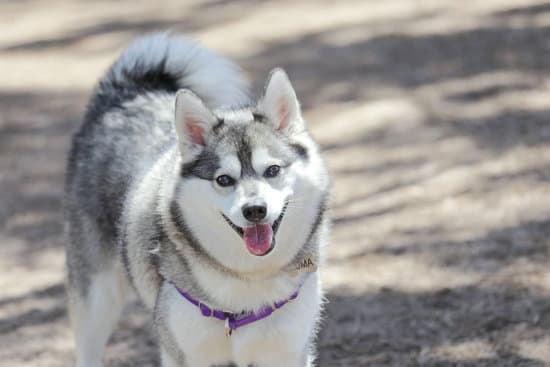 The Alaskan Klee Kai small wolf-like dog breeds