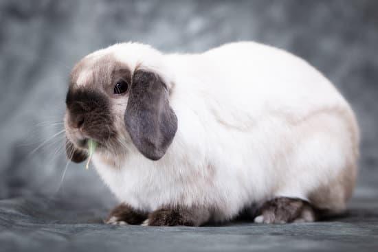 A Mini Lop small rabbit breed