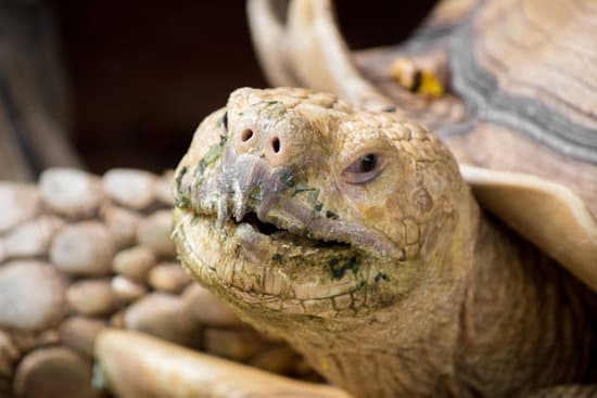 Sulcata tortoise nose and mouth