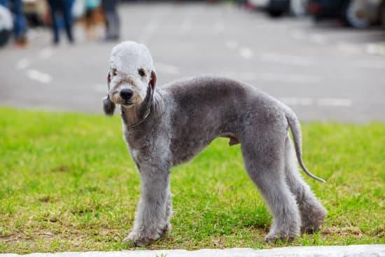 Bedlington Terrier small guard dog