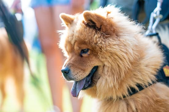 Best Training Course for Your Chows in the US