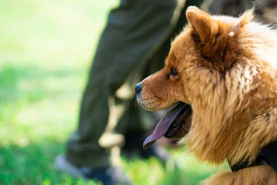 How Will Your Chow Chows Be Trained?