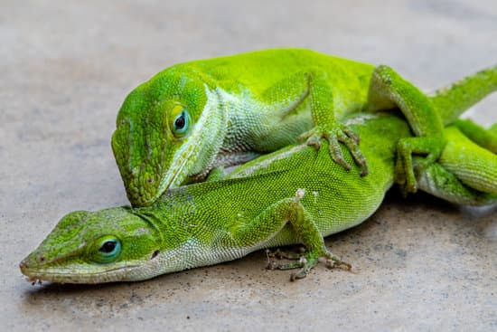 Sexually mature male and female green anole mating