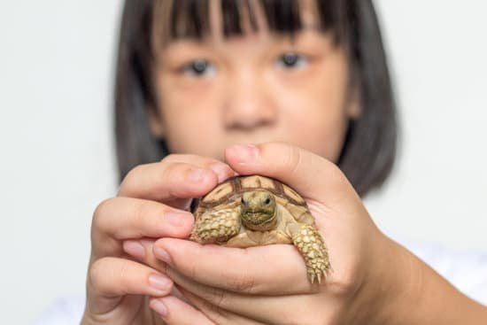 The proper way to handle baby sulcata tortoise