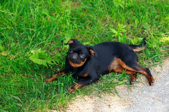 Brussels Griffon breed of small guard dog