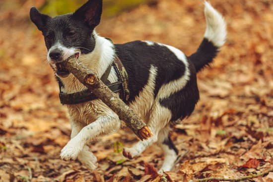 Border Jack small collie breeds