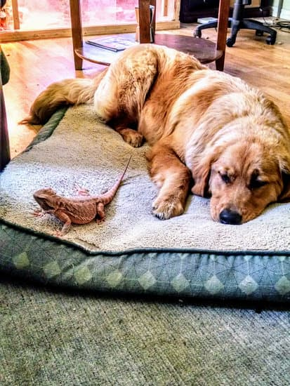 bearded dragon in bed with dog