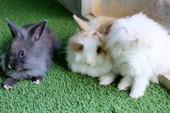 Mini English Angora Rabbit