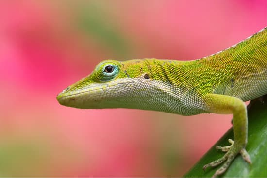 Green anoles make good pets