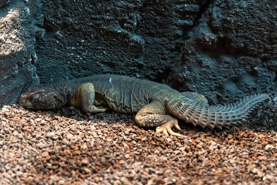 why is my uromastyx sleeping so much