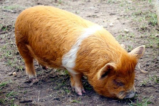 Kunekune small Pig Breeds