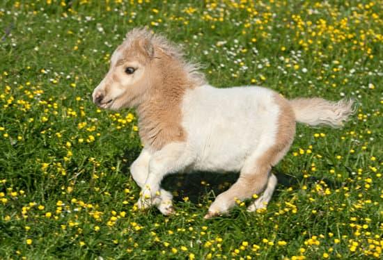 Falabella small pony breeds