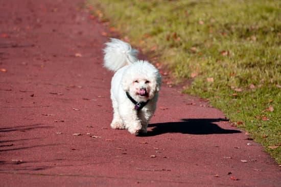 Bichon Frise breed of calm dog