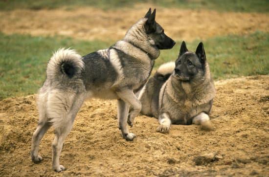 Norwegian Elkhound small dog breed
