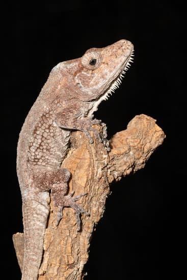 Cuban False small chameleon breeds