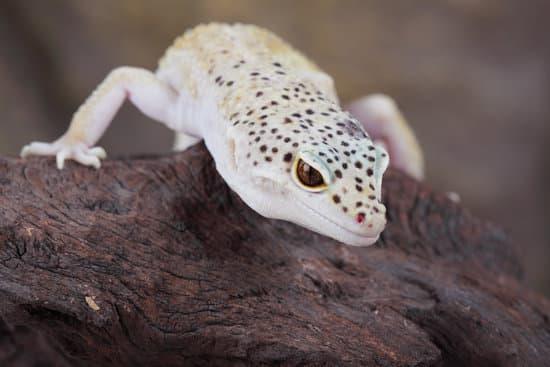 Why Do Leopard Geckos Make Clicking Sound?