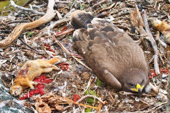 Tawny eagle attacks and kill a squirrel