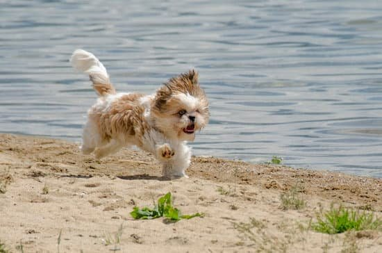 Shih Tzu breed of small hairy dog
