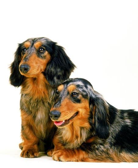 Daschund breed of small fat dog