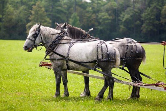 Percheron breed of small draft horse