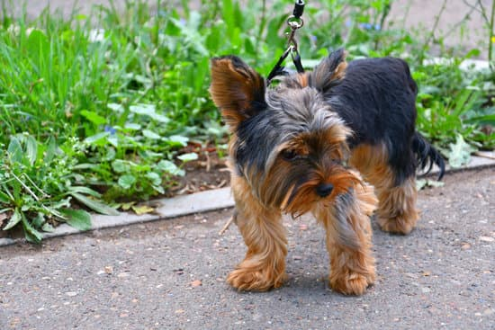 Yorkshire Terrier breed of small hairy dog