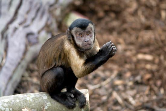 Capuchin Monkey small monkey breed