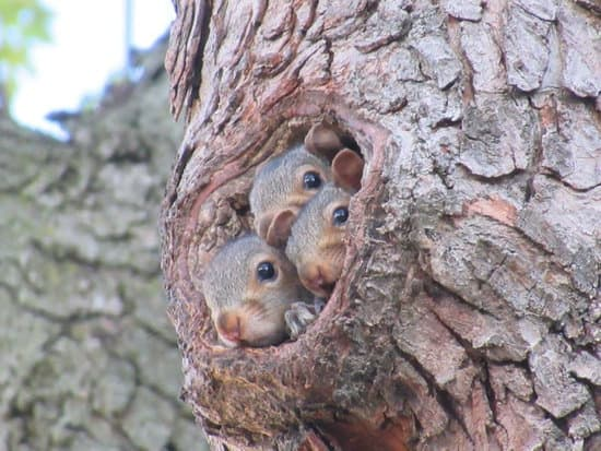 When Do Baby Squirrels Leave The Nest? right when they are able to survive alone