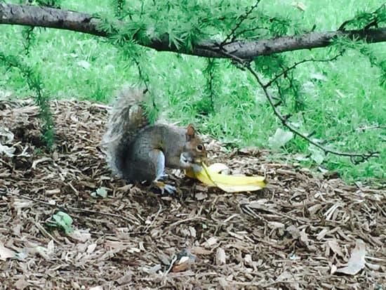 squirrel eating banana peel