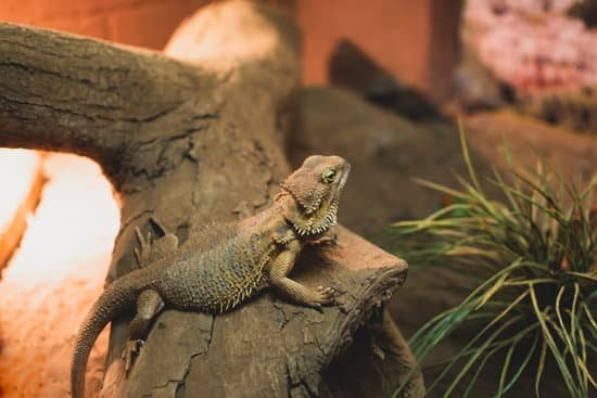 Bearded Dragons Cute Pet Lizards