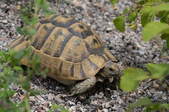 sulcata tortoise lifespan: how long do sulcata tortoise live?