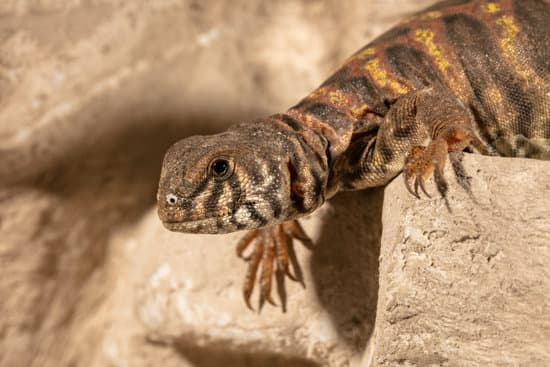 Can You Treat A Sick Uromastyx?