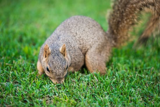 do squirrels lay eggs