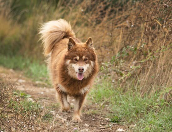 The Finnish Lapphund breed of wolf-like dog