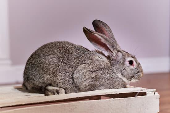 Chinchilla Rabbits breed of large rabbit