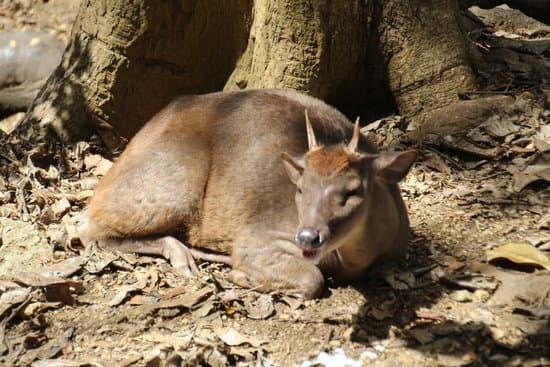 Pygmy Brocket Deer