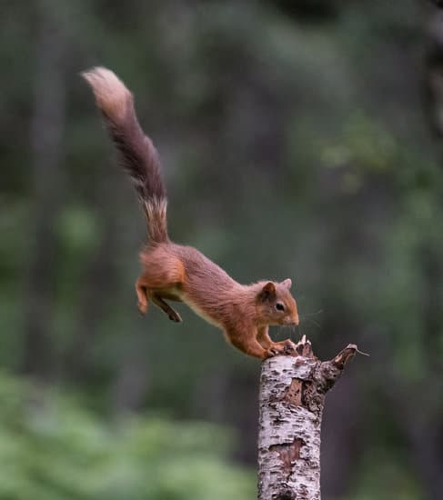 A squirrel landing with its forelegs