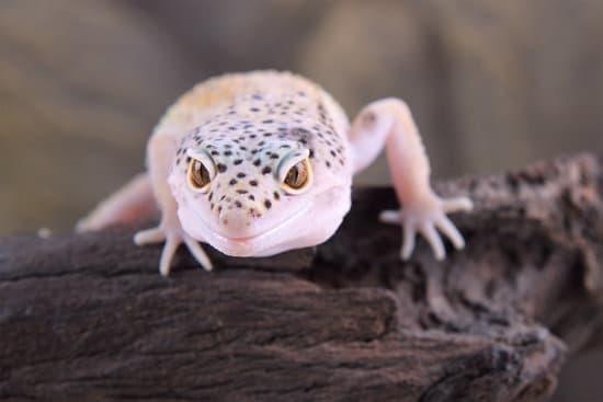 Do Leopard Geckos Bite?