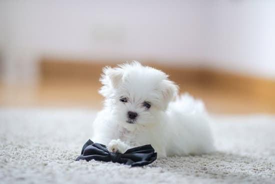 Maltese small puppy breeds