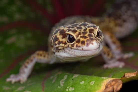 How Often Should I Feed My Leopard Geckos