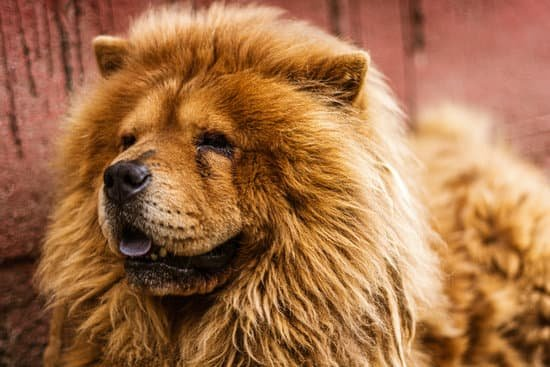 Do Chows Have Such a Bad Reputation?