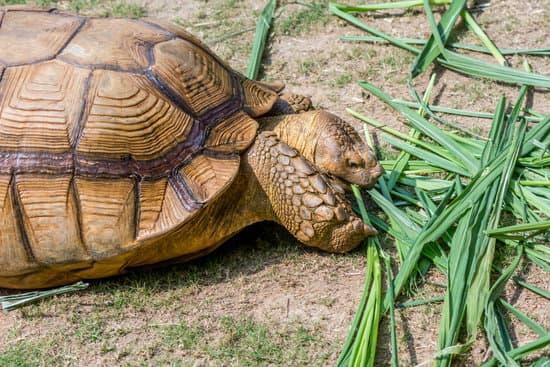 Sulcata Tortoise Diet: Sulcata tortoise feeding on grass/hay