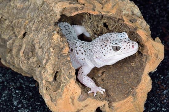 proper treatment respiratory infection in leopard geckos needs your effort