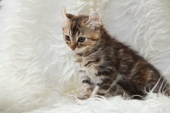 An American Curl cat in a duvet