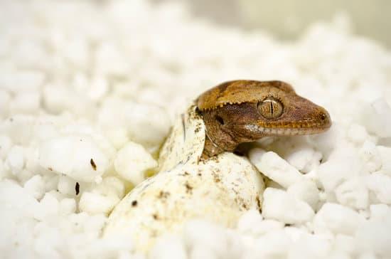 Crested Gecko Egg Development
