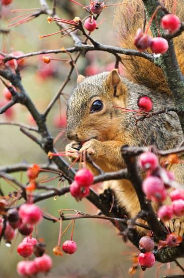 Squirrels will eat berries