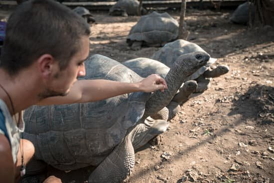 a group of Aldabra giant tortoise on race