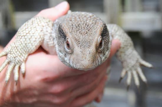 Savannah Monitor is not an idea lizard for beginners
