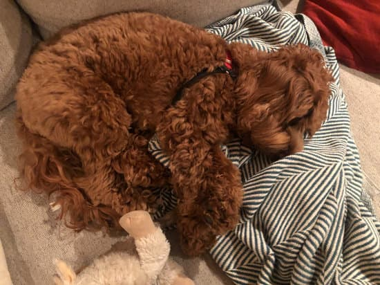 Miniature Labradoodle curly haired dog sleeping on a couch