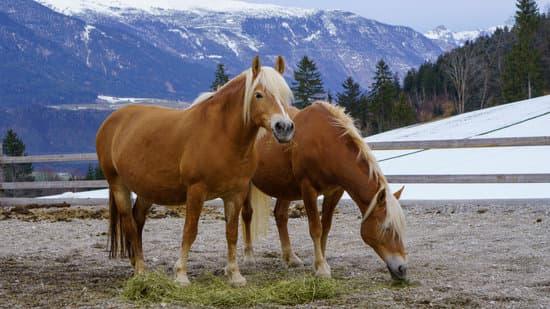 Haflinger small draft horse breed