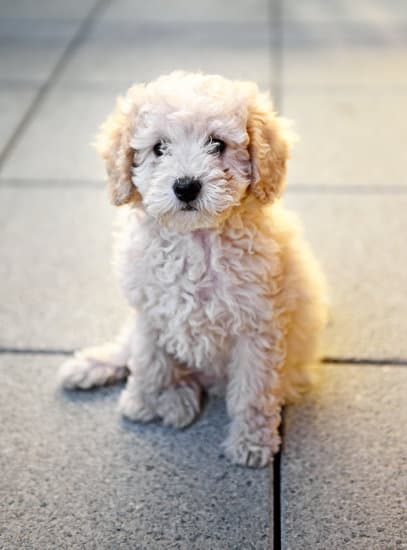 Toy Poodle breed of small hairy dog